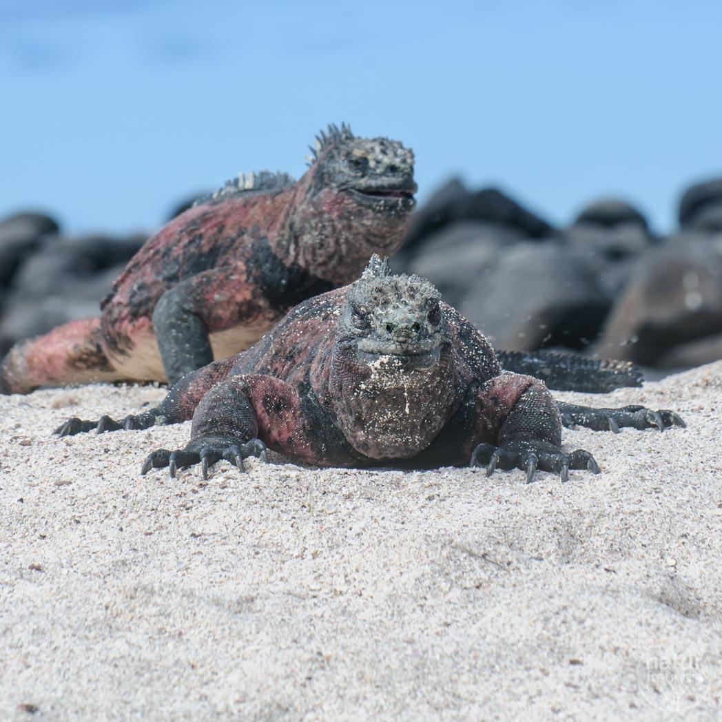 Meerechsen Galapagosinseln