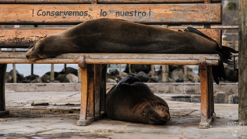 Pelzrobben Galapagos