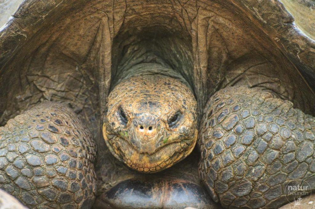 Riesenschildkröte Galapaguera
