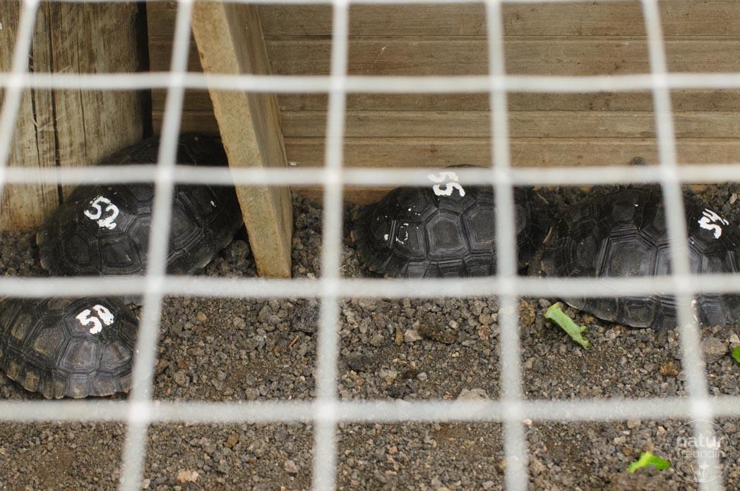 Baby-Schildkröten San Cristobal