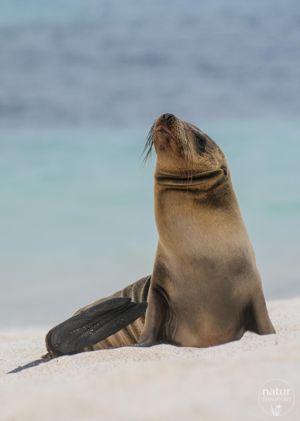 Seelöwen in Galapagos