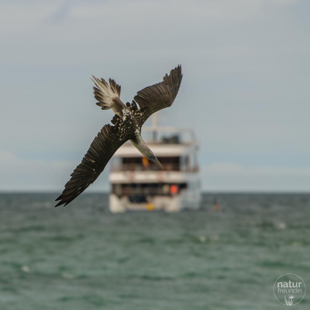 Blaufußtölpel beim Fischen