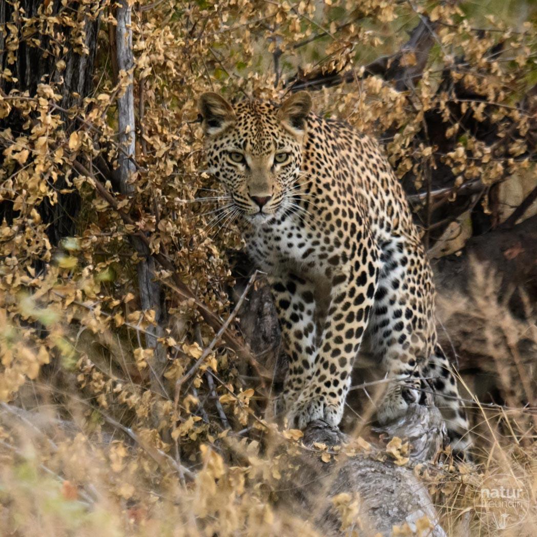 Leopard im Herbst
