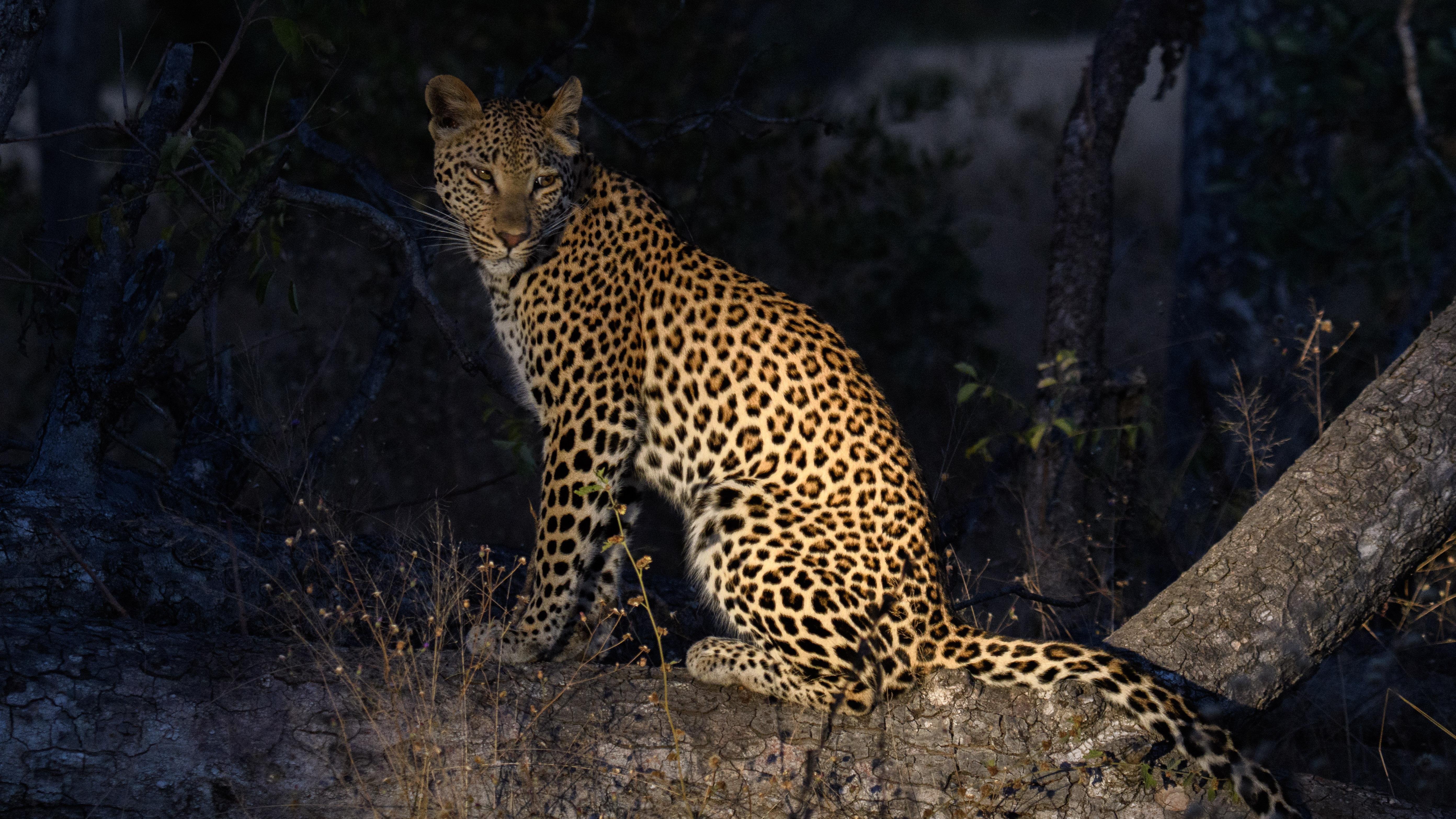 Leopard Nachtaufnahme