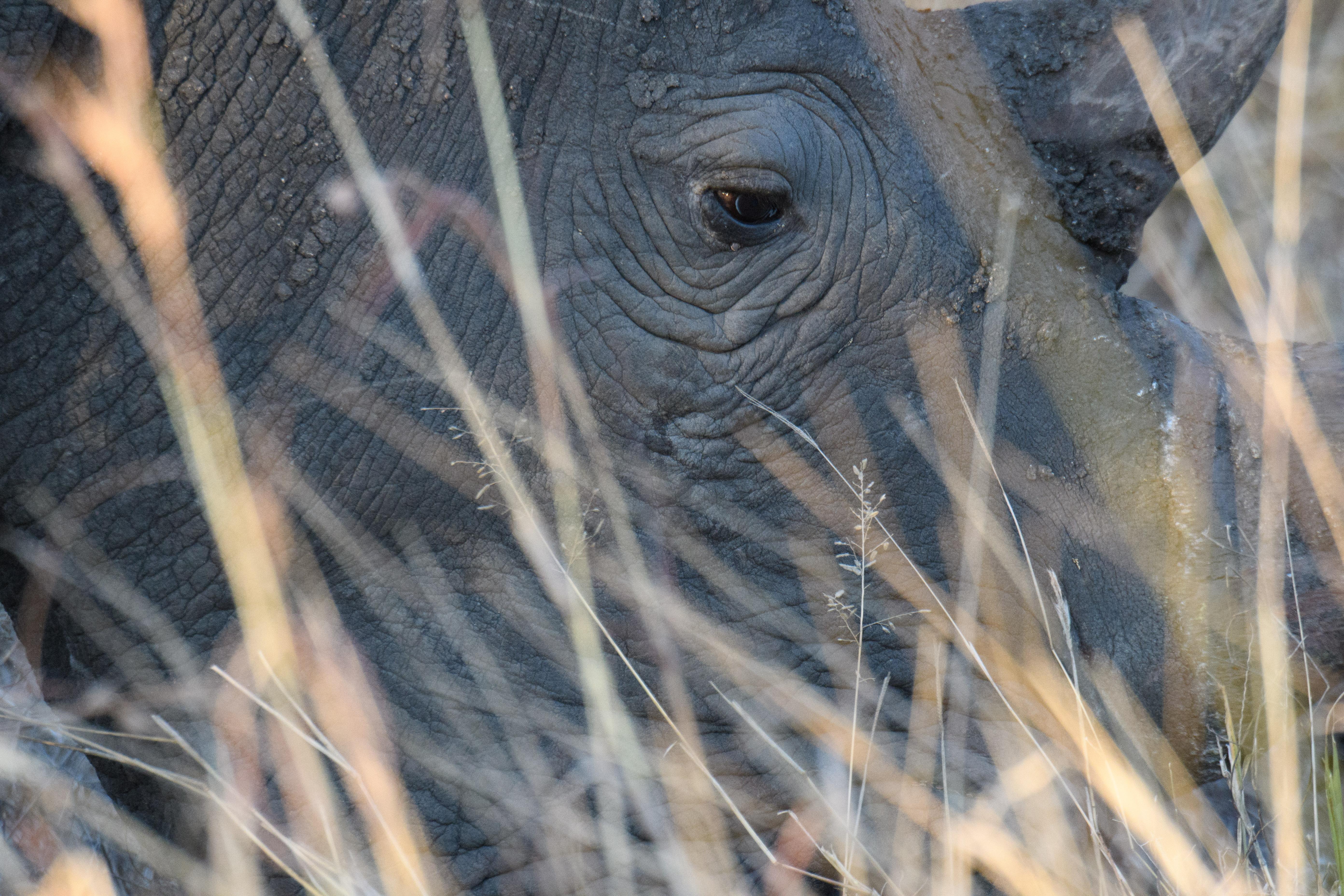 Breitmaulnashorn /white rhino