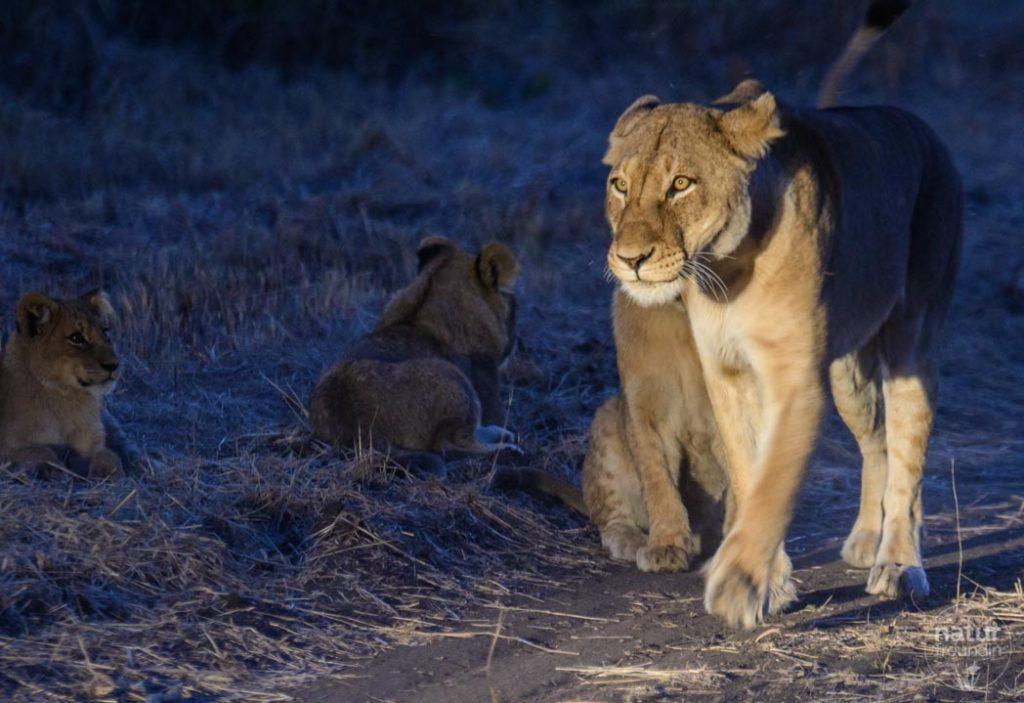 Löwe im Rampenlicht