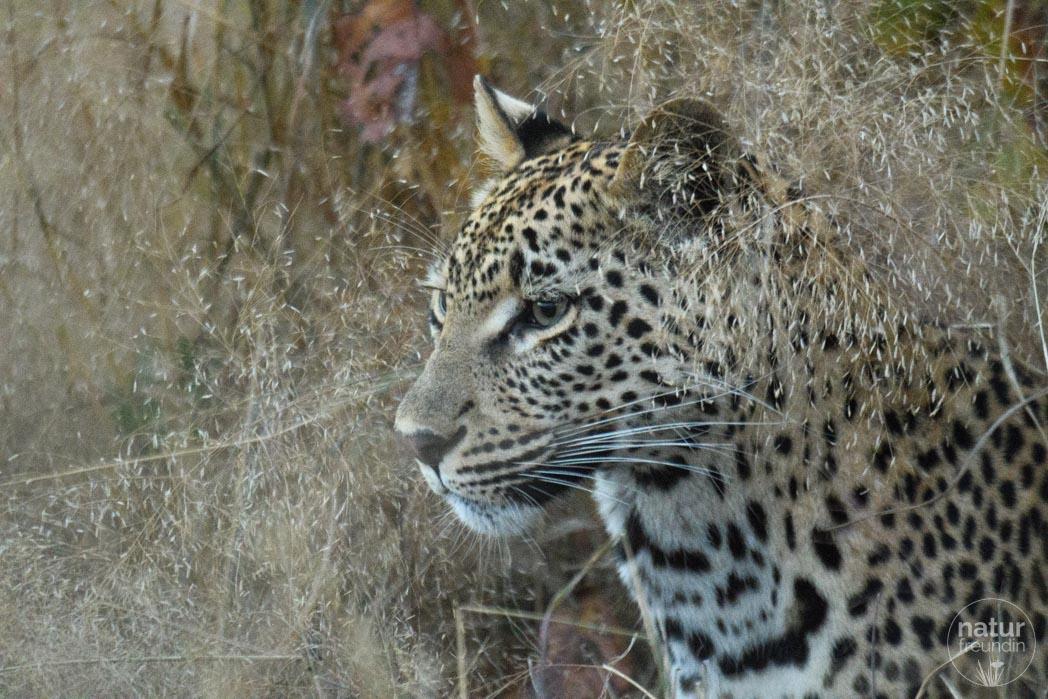 Leopard in Sabi Sabi
