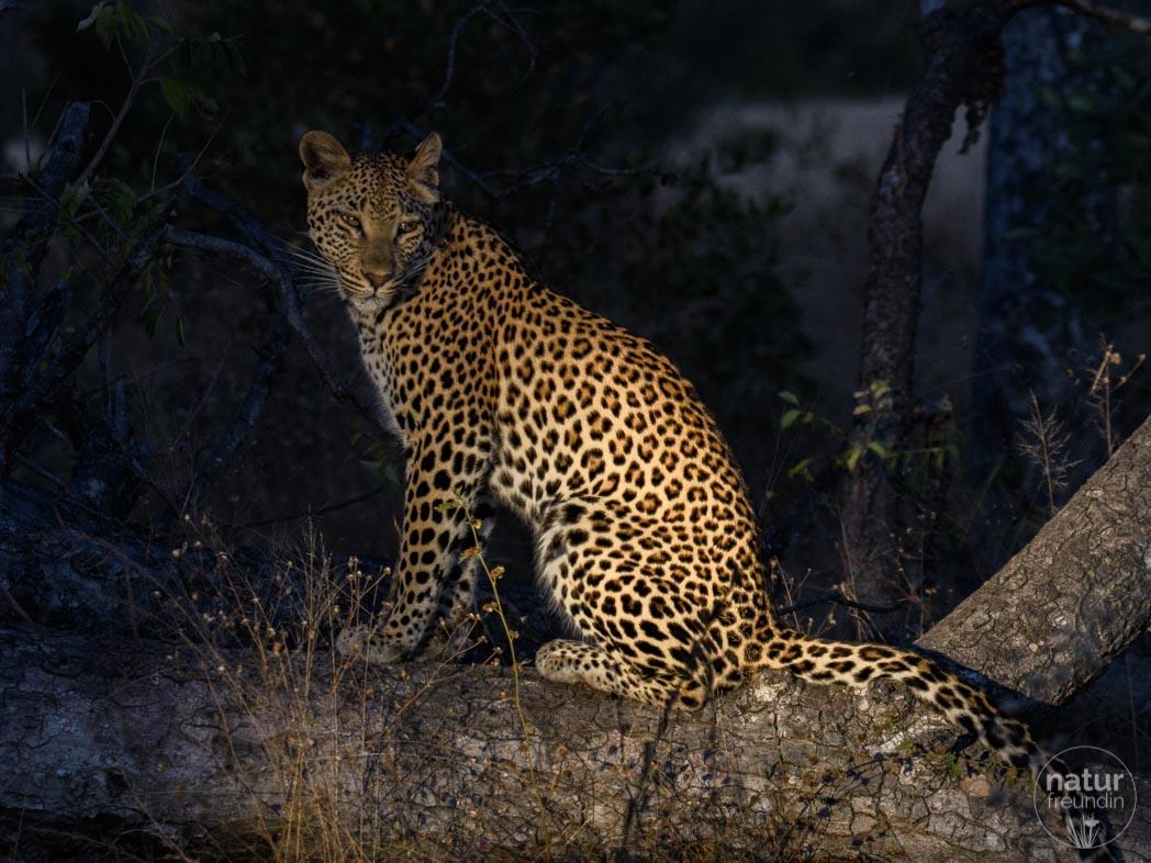 Leopard im Scheinwerferlicht