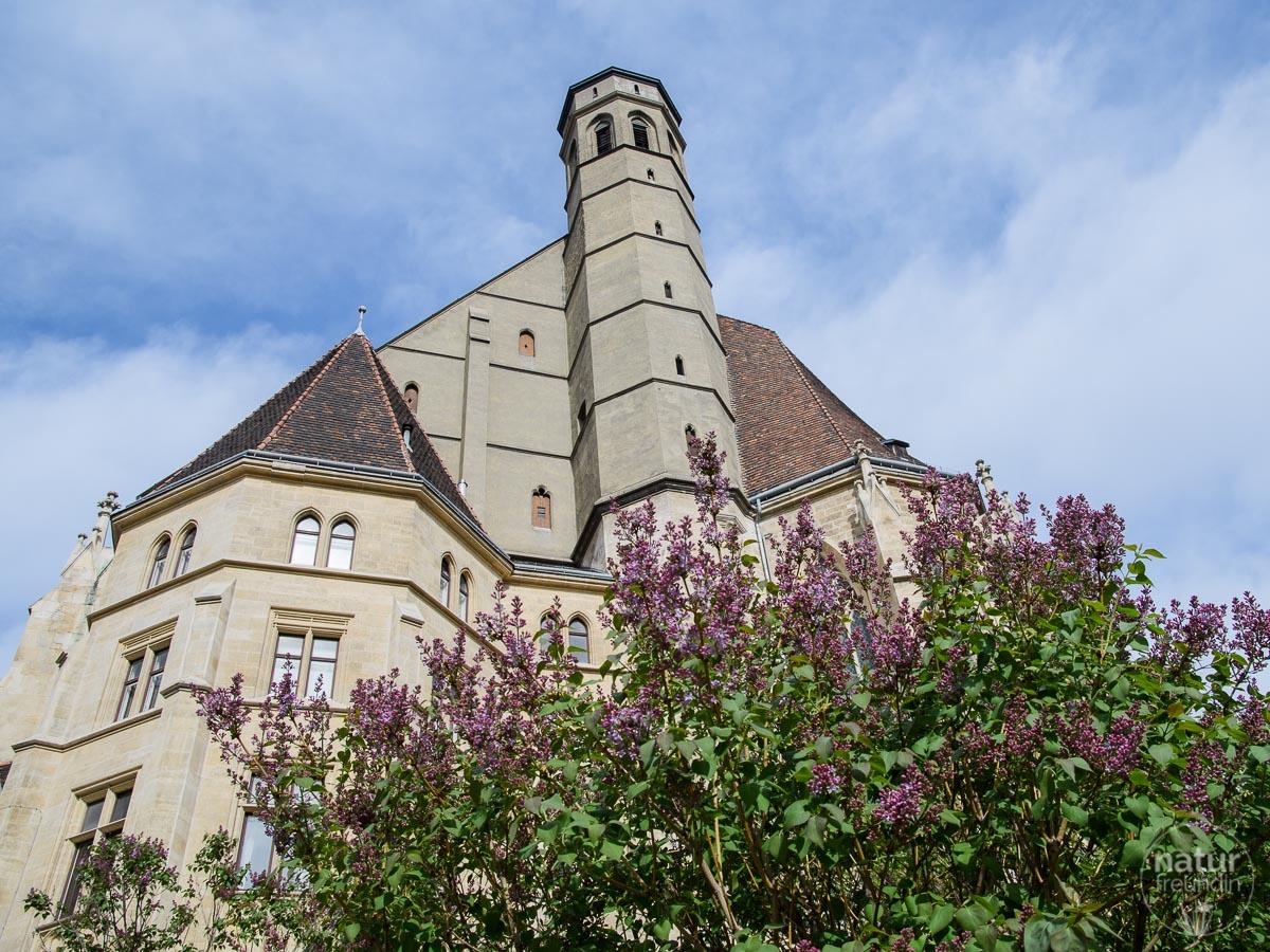 Fliederblüte in Wien, Minoritenkirche