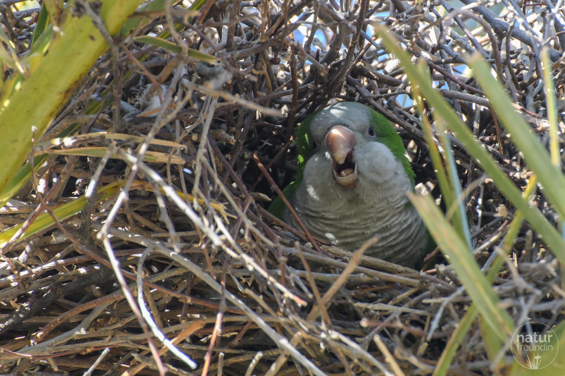 Mönchssittich im Nest