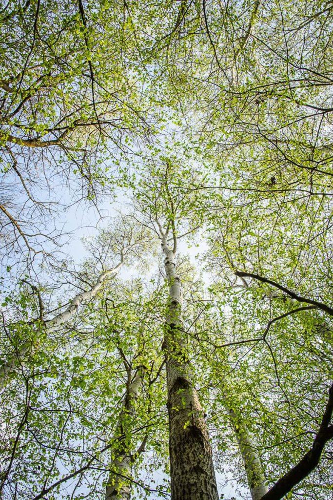 Baumkronen im Frühling