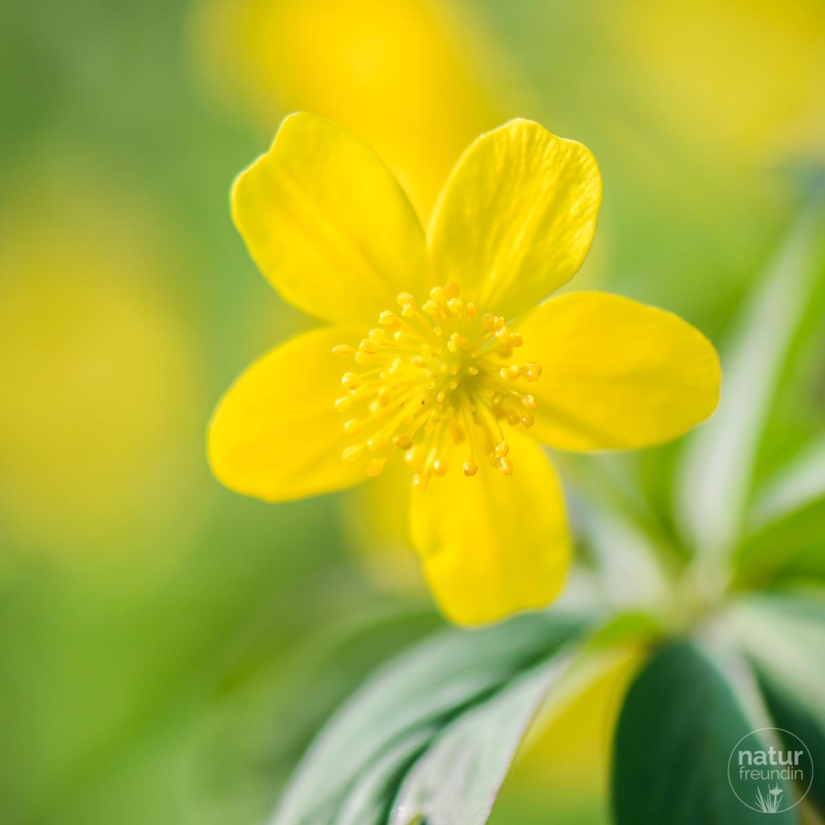Gelbes Windröschen - ein sehr hübsches Motiv für deine Frühlingsfotos