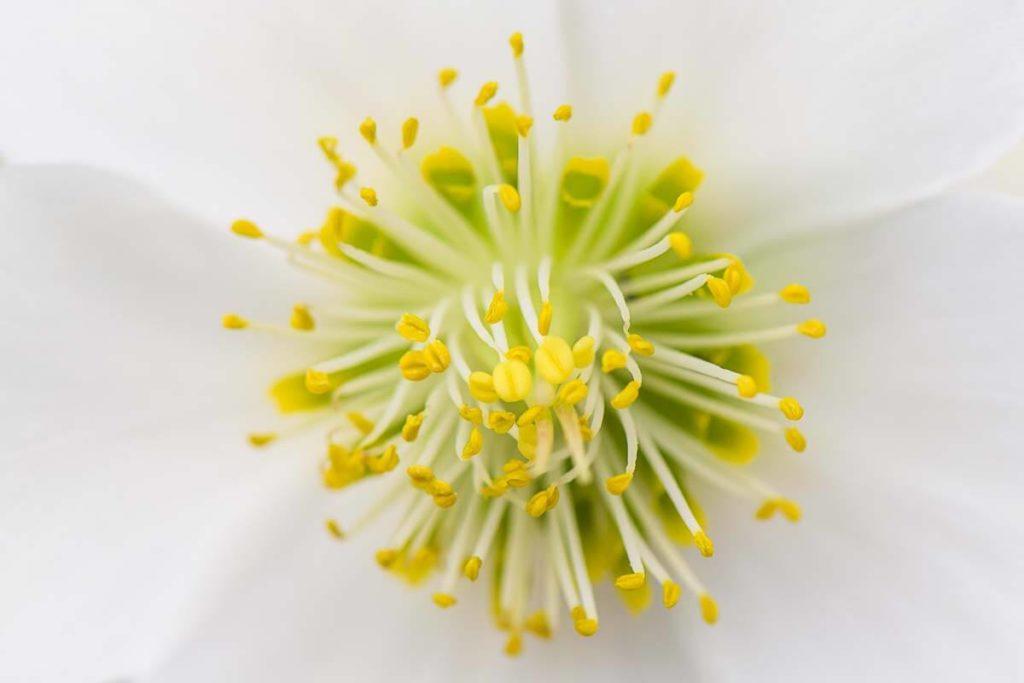 Schneerose - Blumenfotografie im Garten