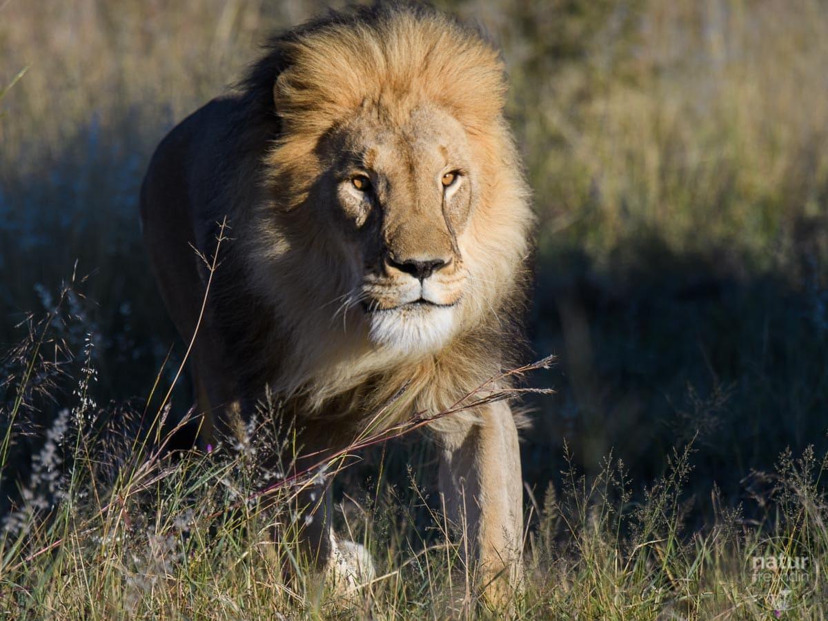 Löwe in Africat