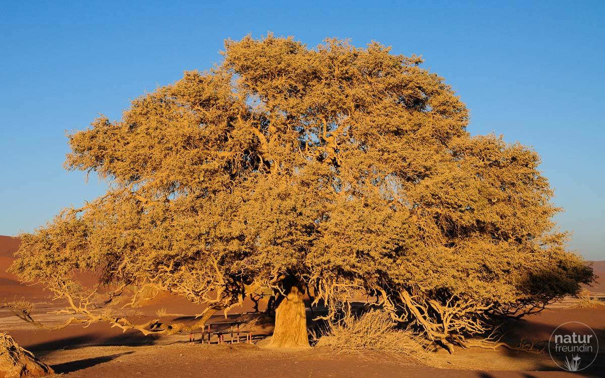 Camelthorn tree / Kameldornbaum