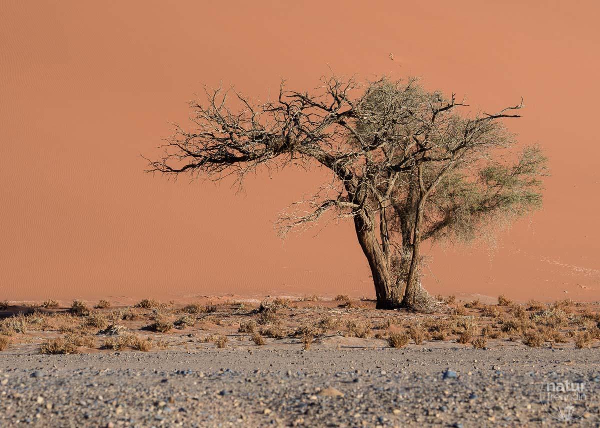 Kameldornbaum vor der Düne