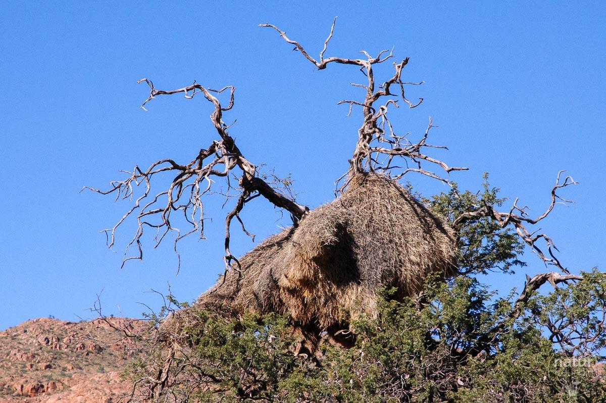 Nest Siedlerwebervögel