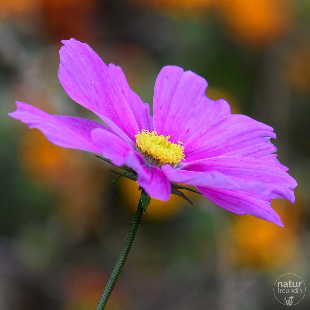 Cosmea im Herbst