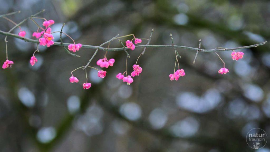 Die Früchte der Pfaffenhütchen bringen Farbe in den Winter.