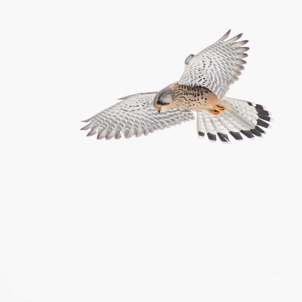 Falke - Vögel lockdownnaturchallenge