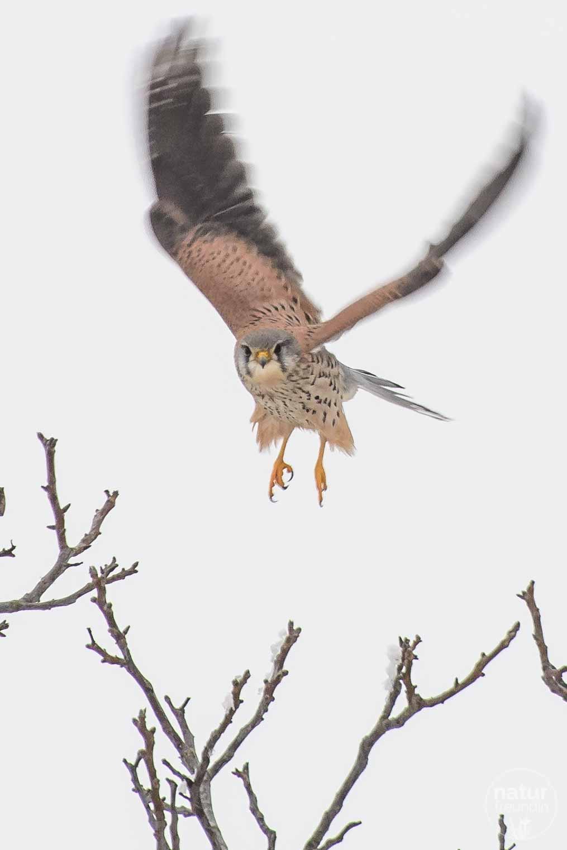 Falke im Winter - wenn der Himmel grau ist, kannst du ihn schön freistellen