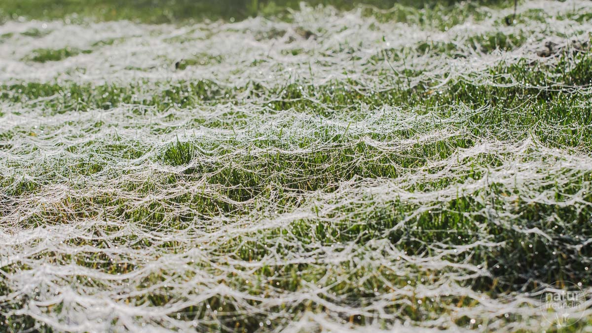 Spinnennetze im Naturgarten