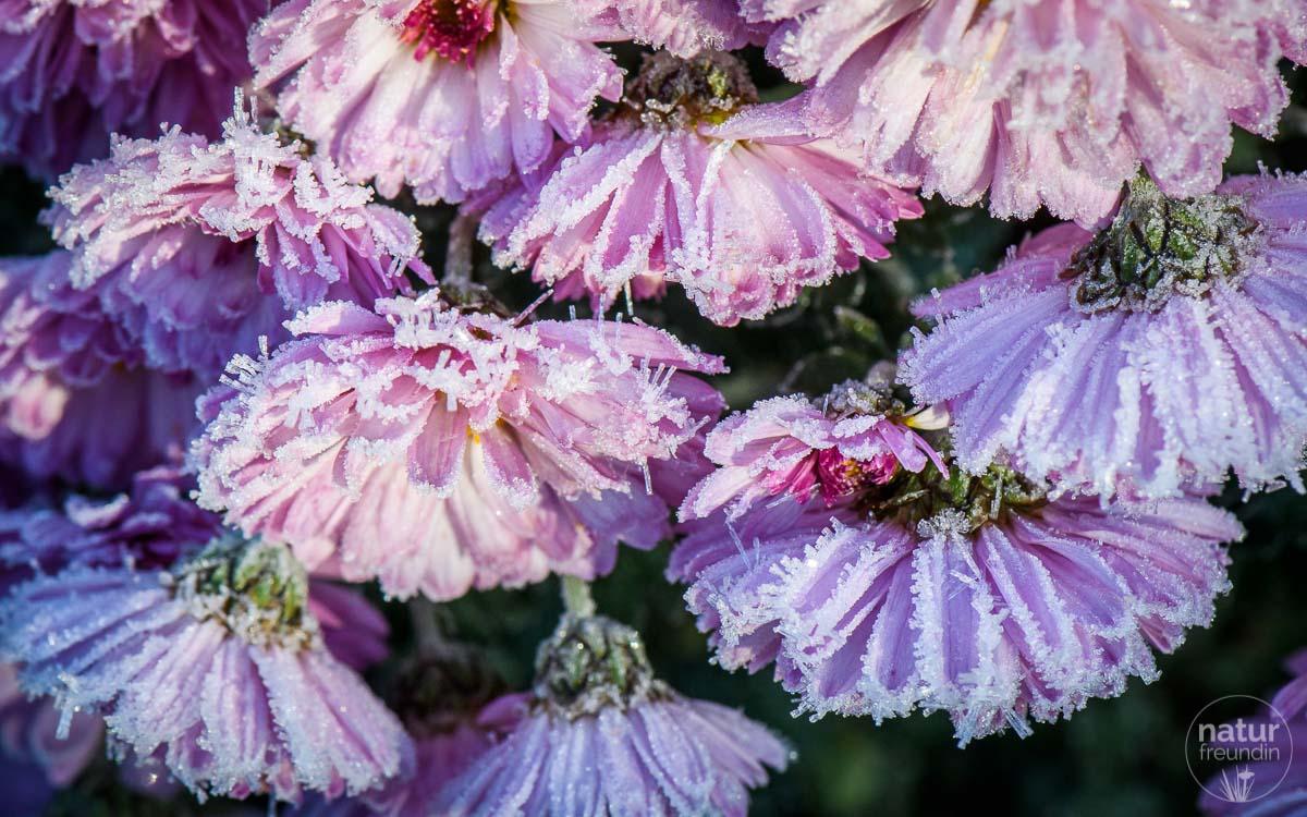 Chrysanthemen im Novemberfrost