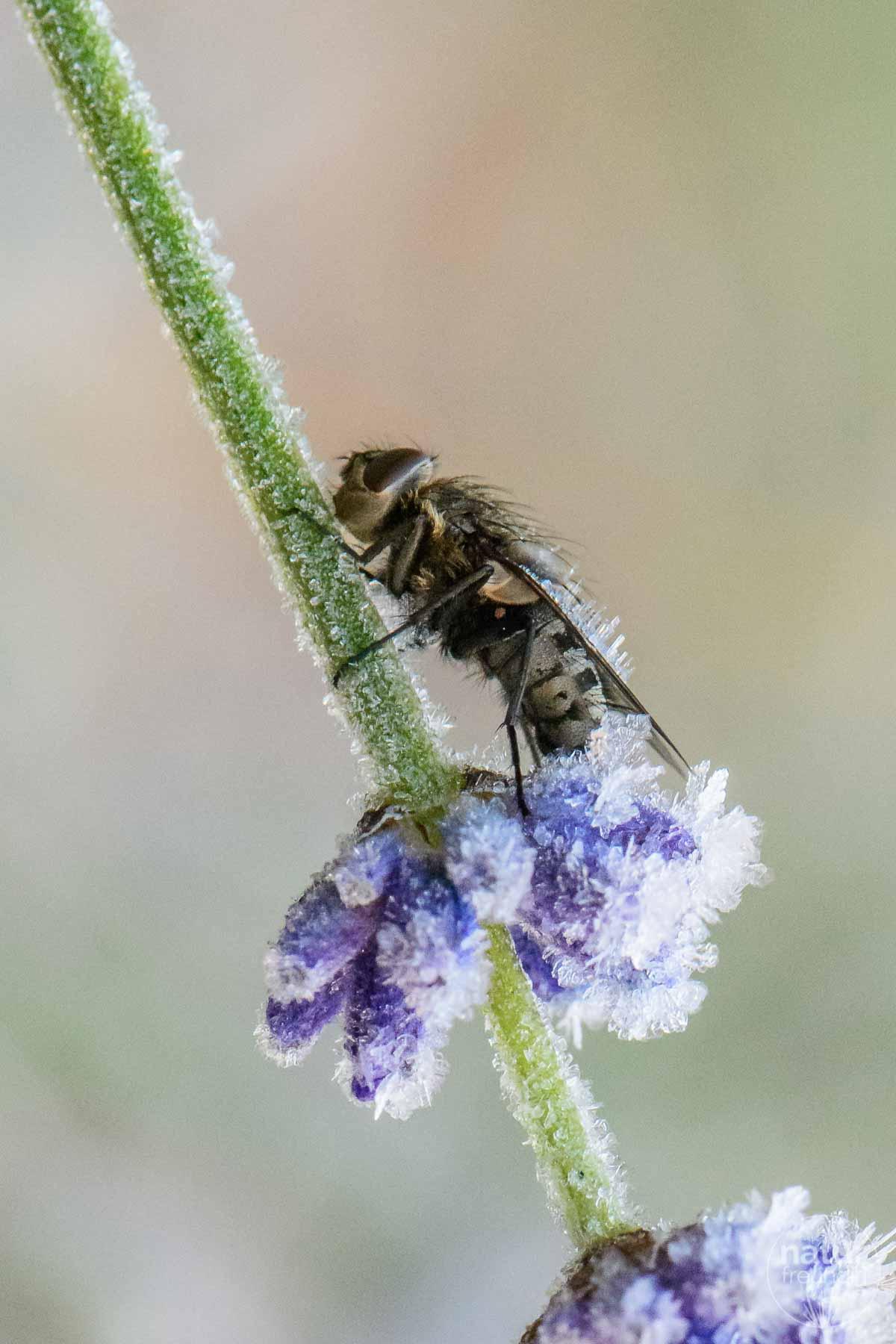 Fliege am Lavendel angefroren
