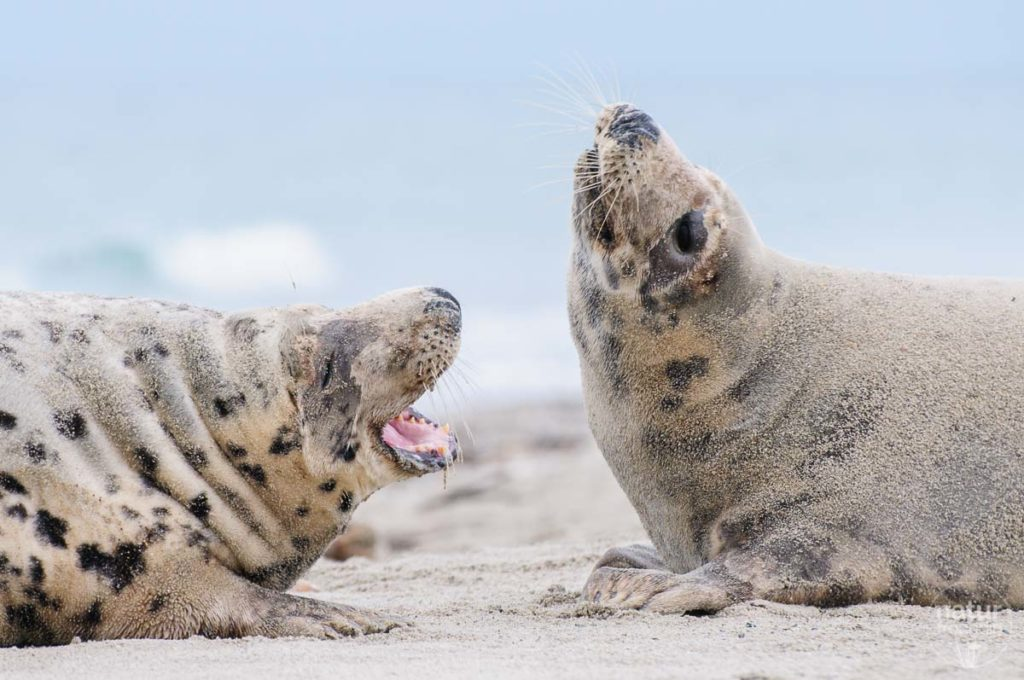 Manchmal unterhalten sich die erwachsenen Robben auch nur.