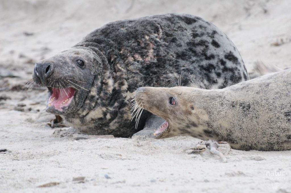 Nicht immer sind die Robben friedlich. Bei so einem Kampf solltest du schauen, dass du weit genug weg bist.