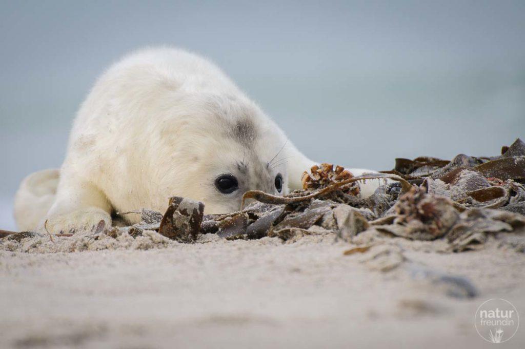 Manchmal spielen die Robbenbabys mit dem Strandgut.