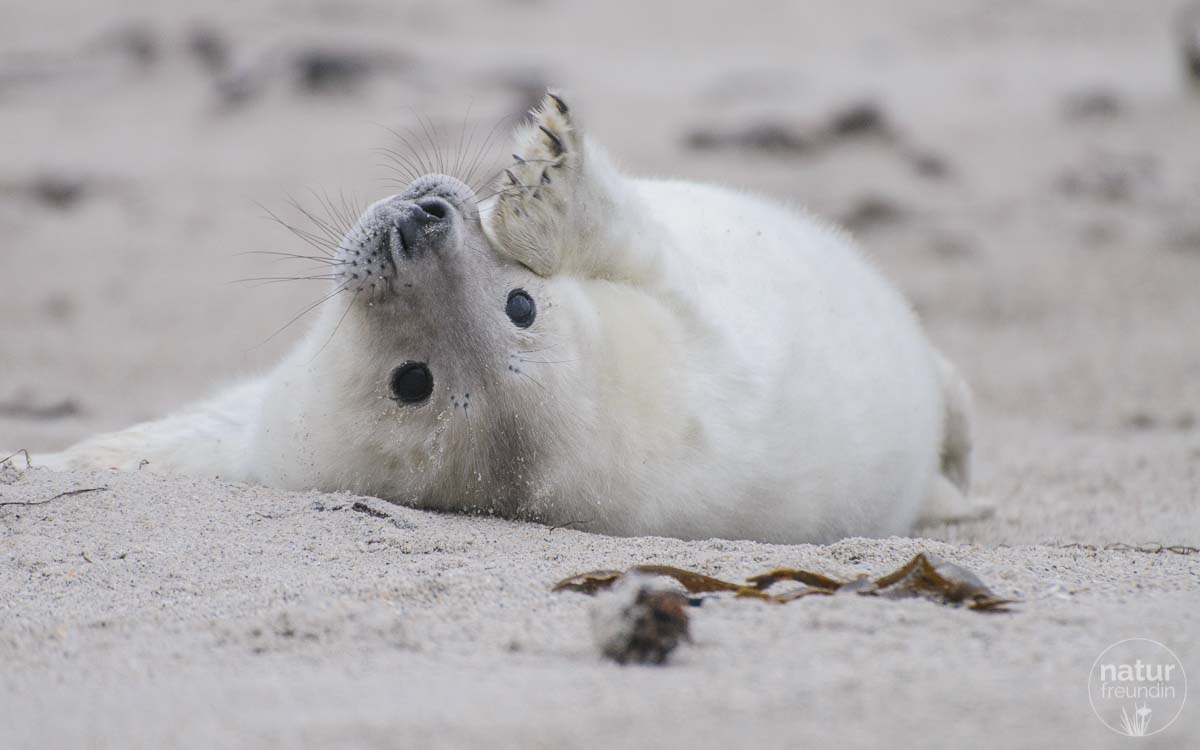 Ob das Robbenbaby winkt?