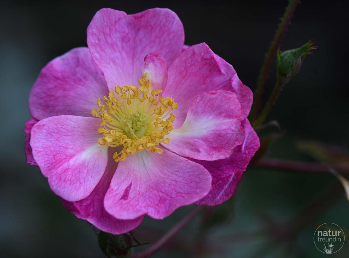 Rosenblüte im November