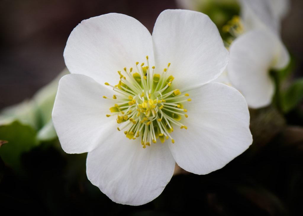 Schneerosen zeigen manchmal schon im November ihre ersten Blüten. Ich mag die hübschen Winterrosen sehr.