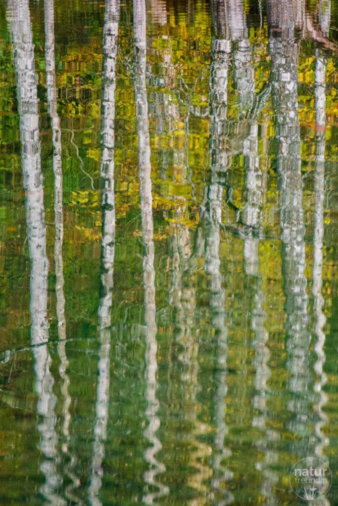 Birken spiegeln sich im See