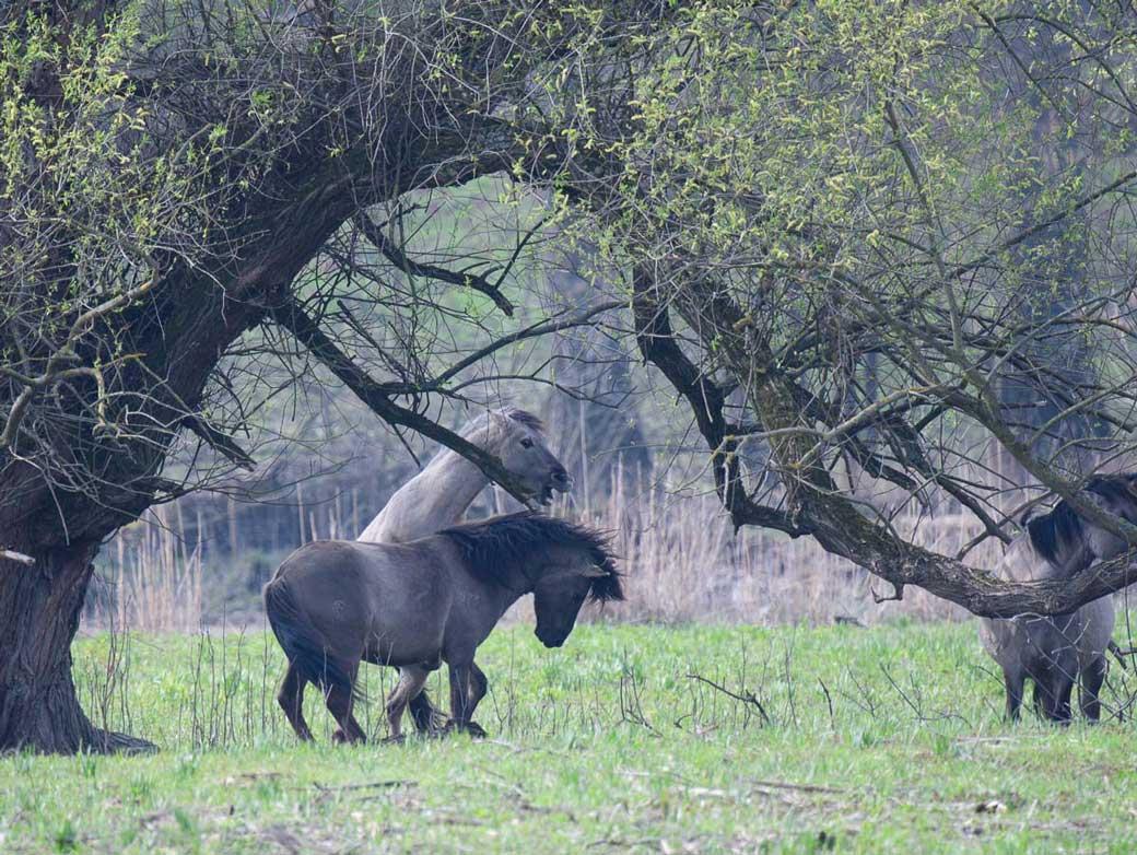Konikpferde im Marchfeld