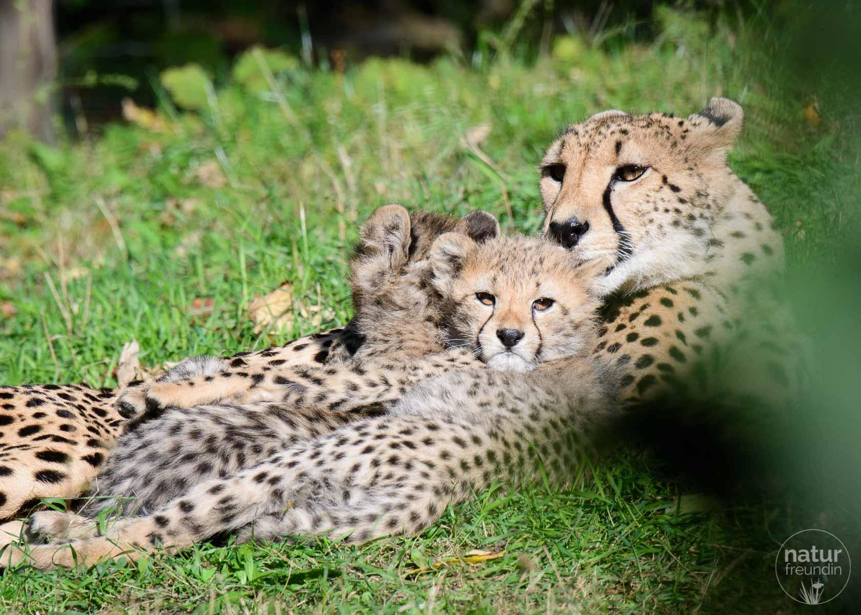 Gepardenfamilie im Zoo Vienna