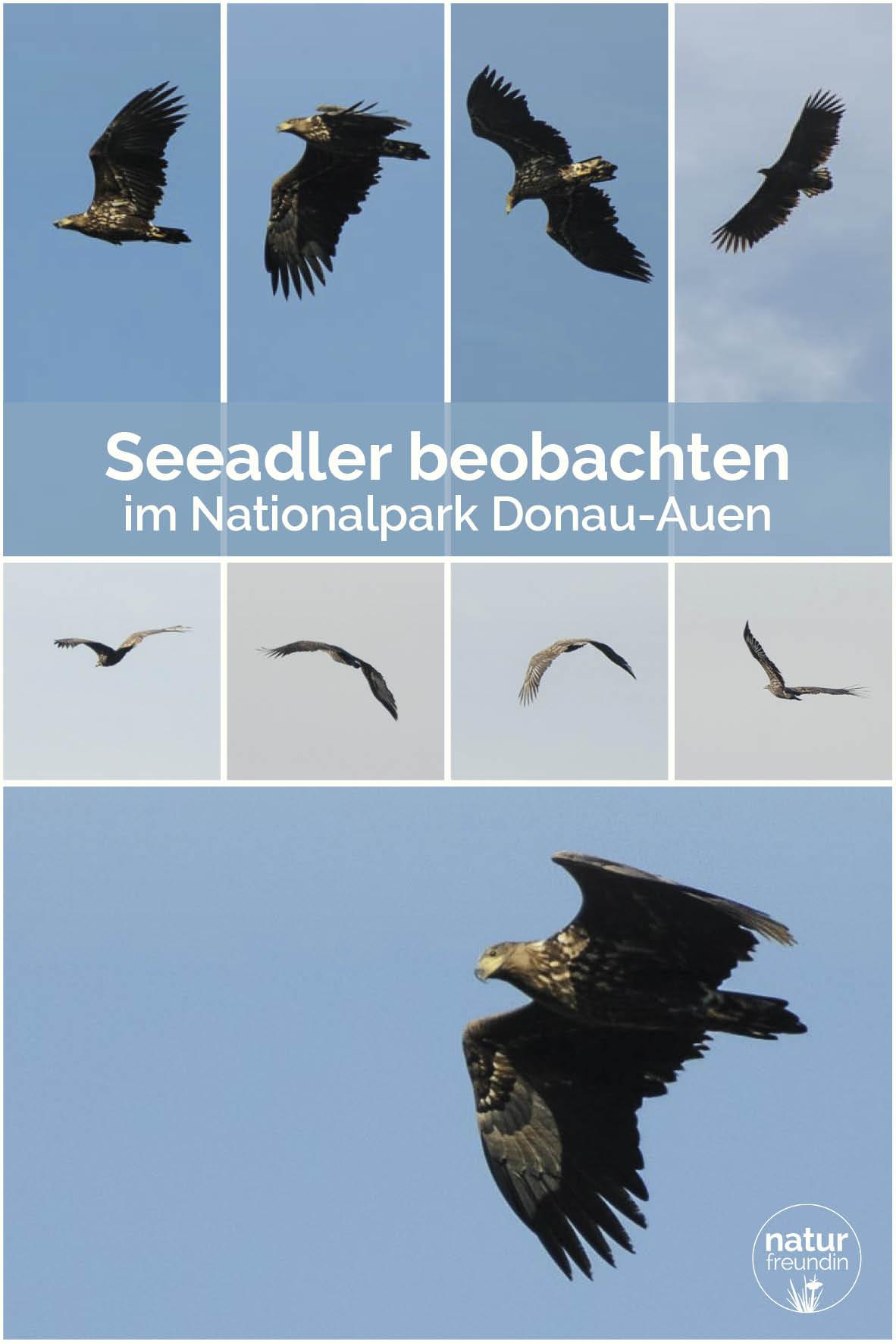Seeadler im Nationalpark Donau-Auen