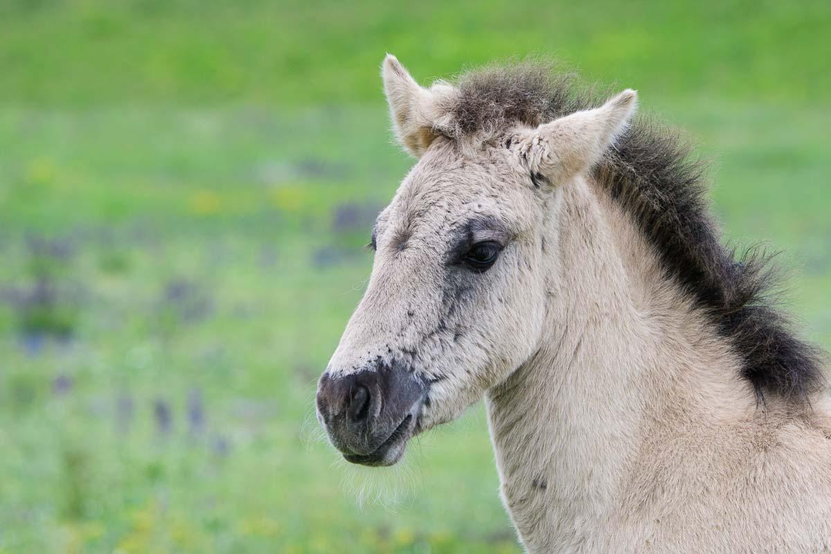 Konikpferde in Marchegg - Natur erleben im Marchfeld