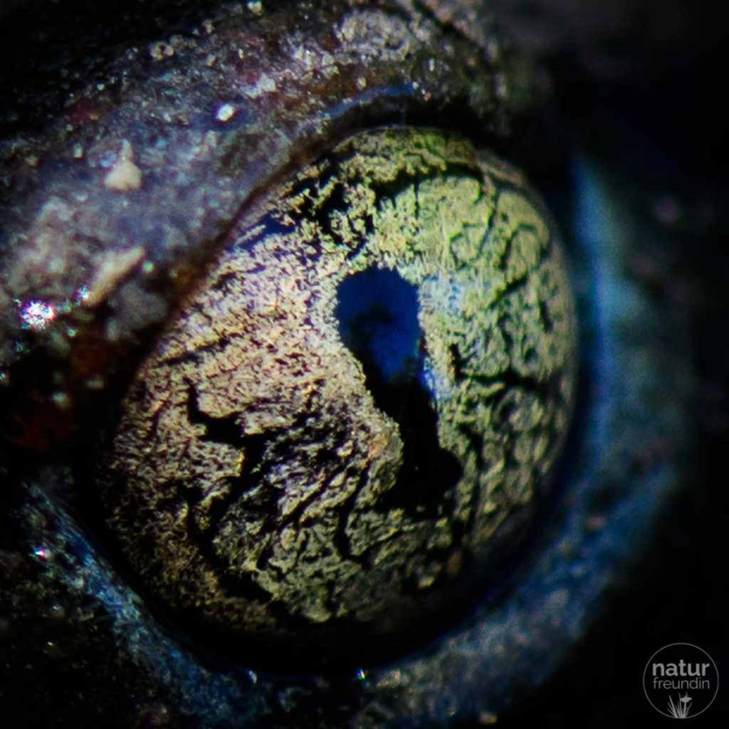 Auge einer Knoblauchkröte