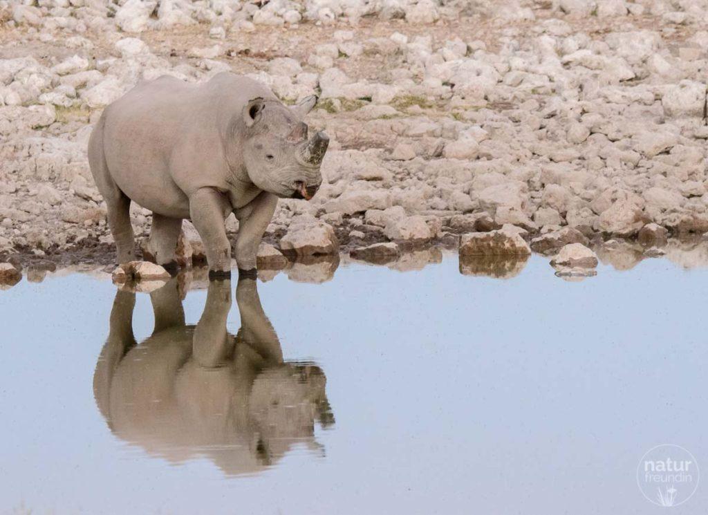 Nashorn an einer Wasserstelle