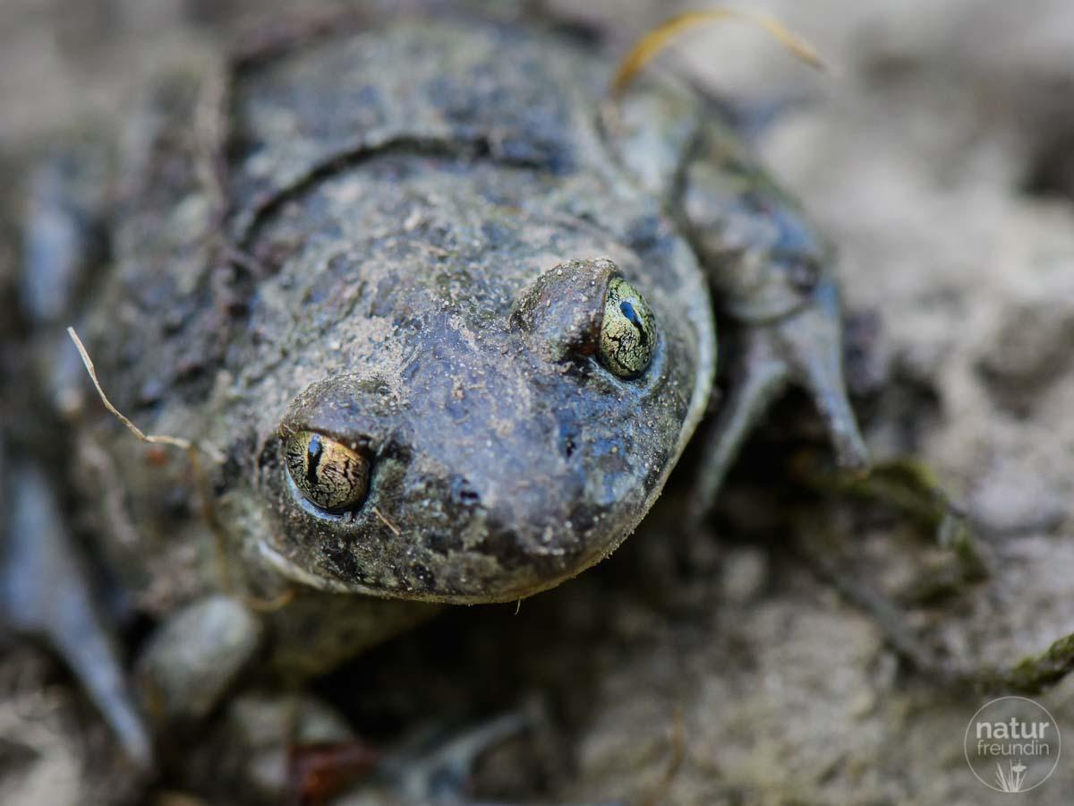 Knoblauchkröte - ein Steckbrief