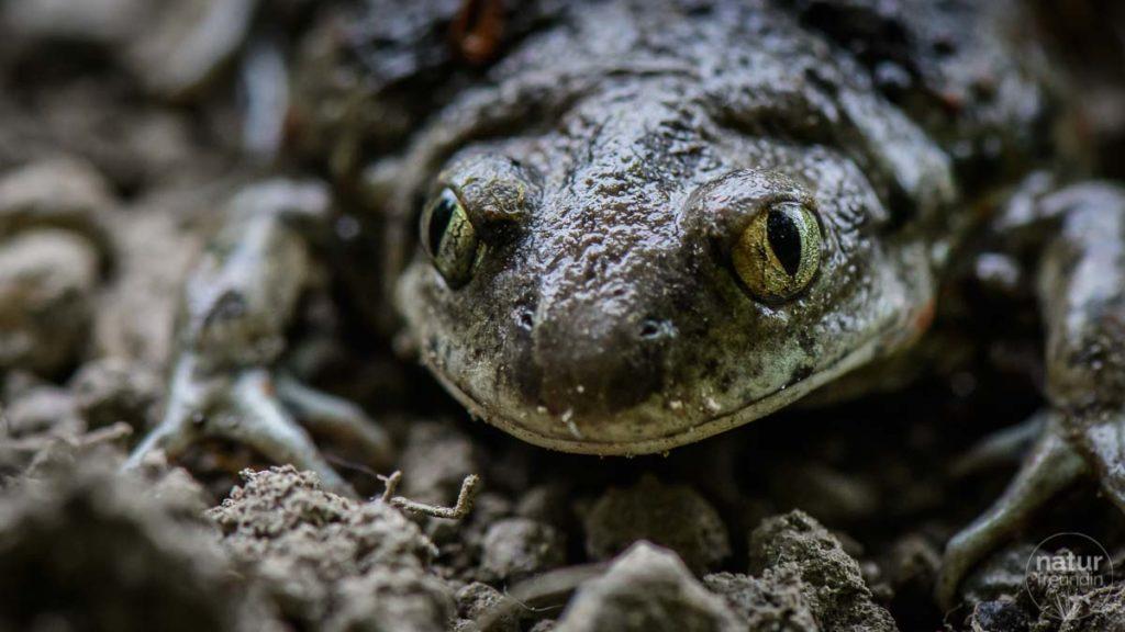 Lachende Knoblauchkröte