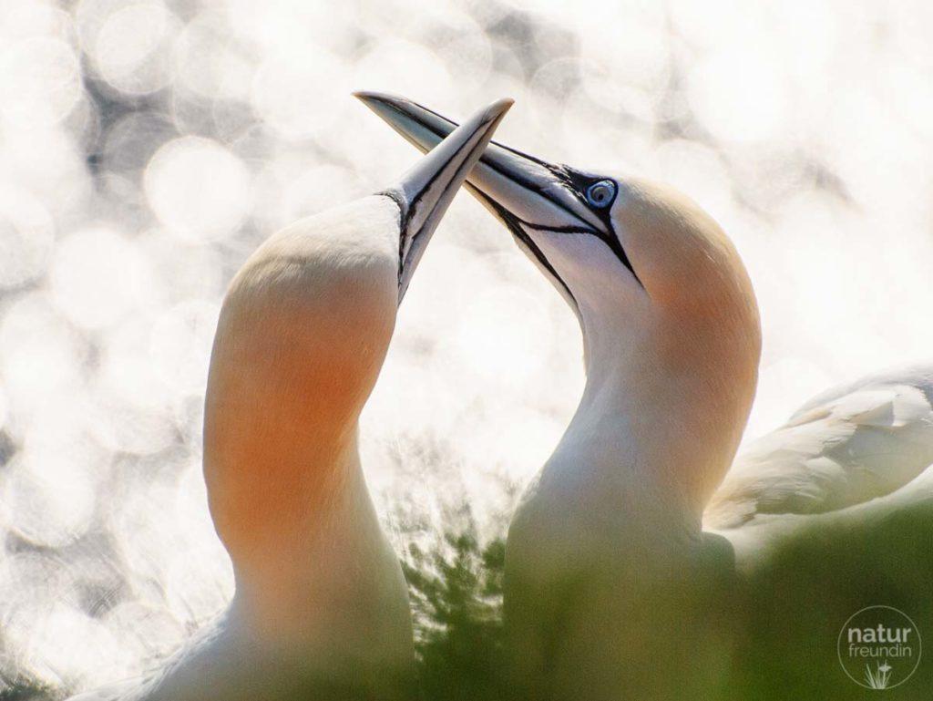 Basstölpel - Naturfotografie auf Helgoland