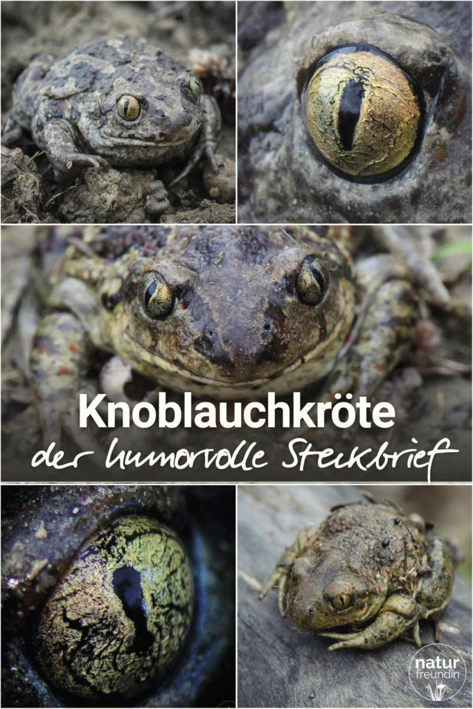 Portrait Knoblauchkröte - der humorvolle Steckbrief