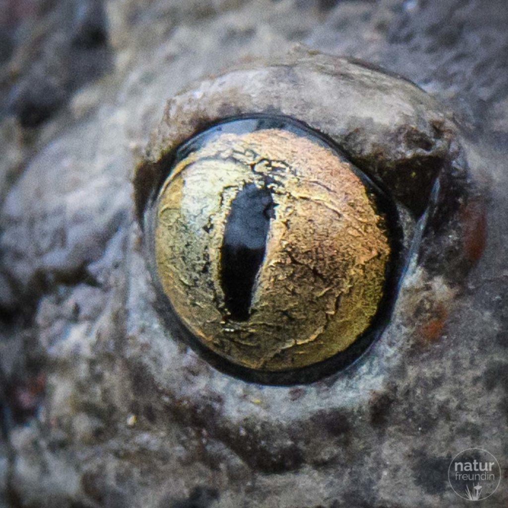 Knoblauchkröte Portrait - Auge