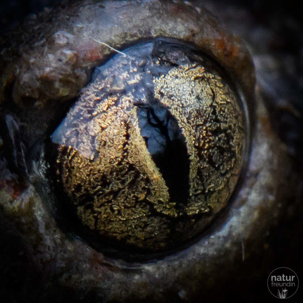 Auge einer Knoblauchkröte, Tierportrait