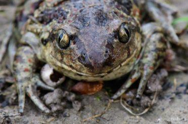 Knoblauchkröte – der andere Steckbrief