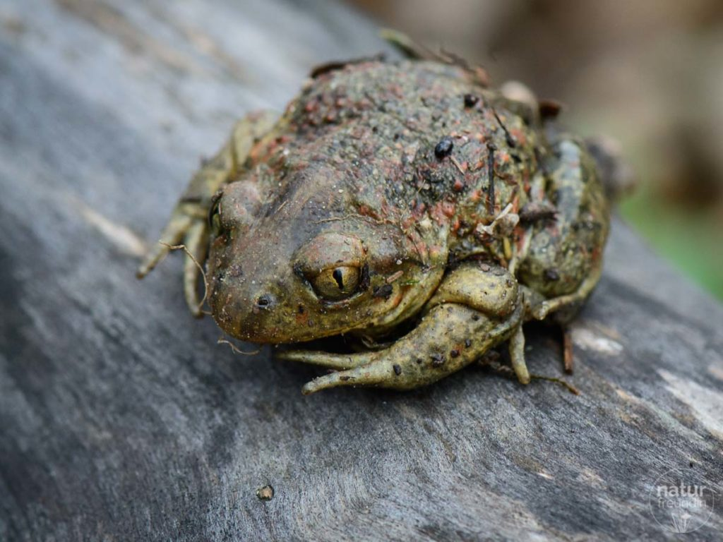 Knoblauchkröten sind mit max. 8 cm eher klein