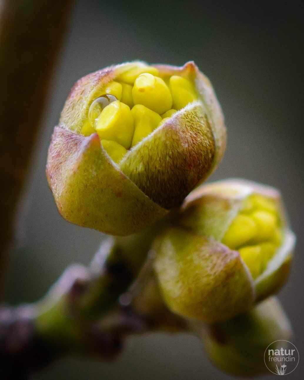 Kornelkirsche im Februar - lange dauert es nicht mehr bis zur Blüte.